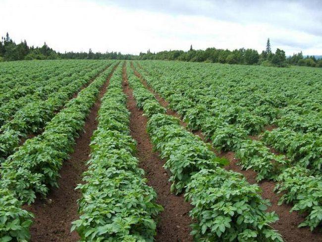 картопля Любава опис сорту фото