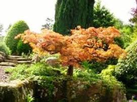 Клен японський - прекрасна прикраса в будинку