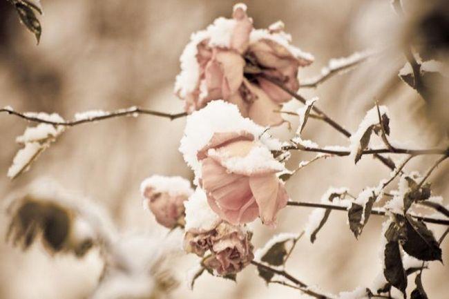 Коли відкривати троянди: деякі правила по їх збереженню