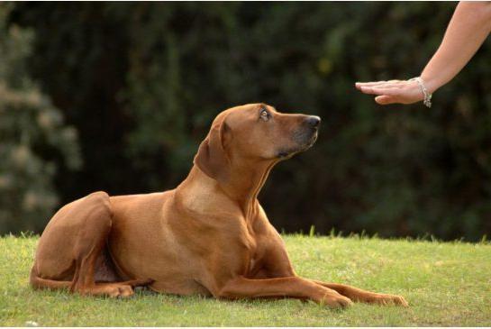 Команда собаці. Як навчити виконувати?