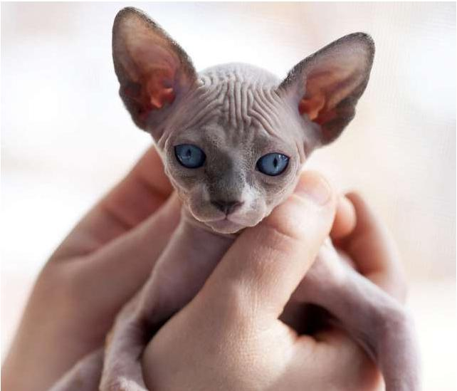 Короткошерстна орієнтальна кішка
