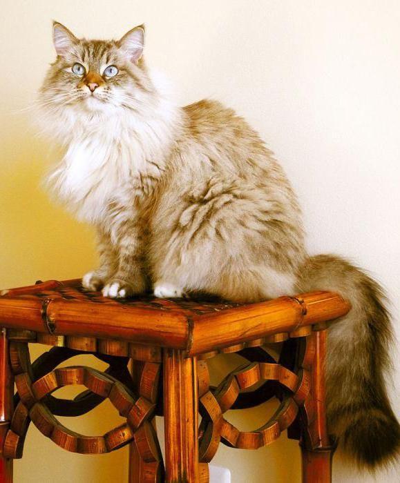 кішки з пензликами на вухах порода фото