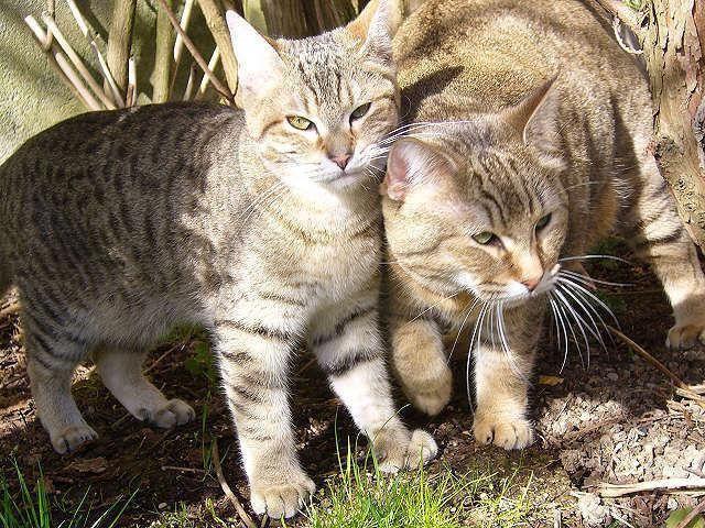 кішка з китицями на вухах порода