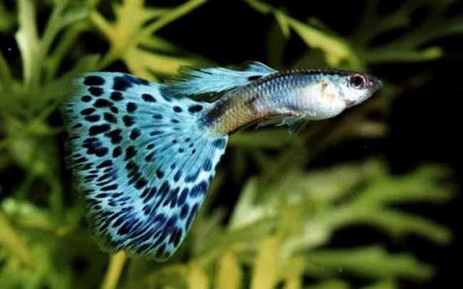 Маленькі рибки гуппі - утримання та догляд