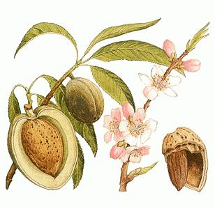 Мигдальний горіх і його властивості