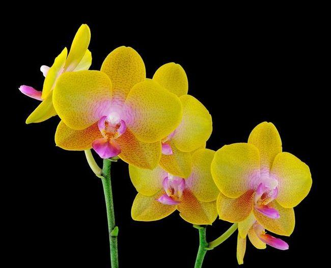Чи можна пересаджувати квітучу орхідею або краще почекати?