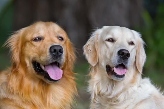 на який день тічки потрібно в`язати собаку