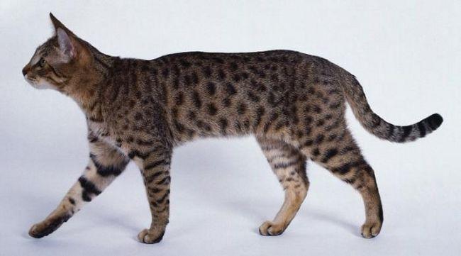рідкісна порода кішок