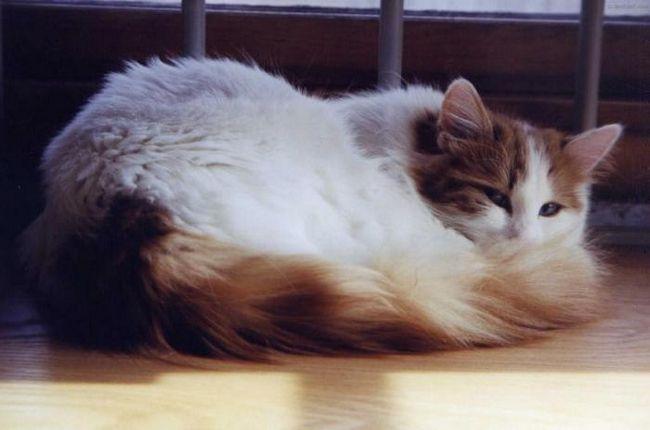 рідкісні породи кішок з фотографіями