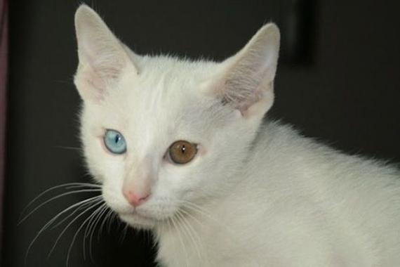самі рідкісні породи кішок фото