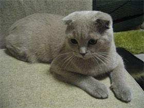 Нагальне питання: чим годувати кошеня шотландського висловухого?