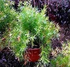Невибаглива і красива рослина - аспарагус шпренгера