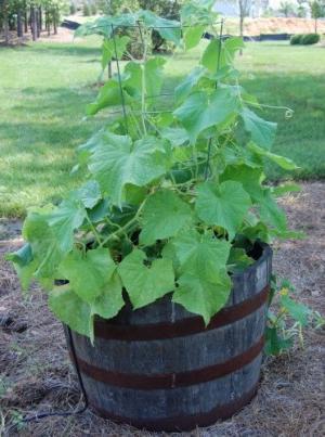 Огірок в бочці - вирощування і догляд