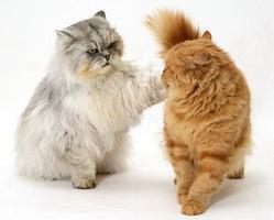Основні правила в`язки кішок і особливості їх підготовки
