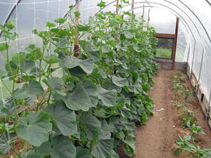 Парник для огірків: як правильно виростити смачні плоди