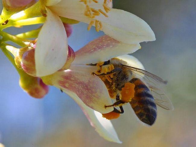 Бджолиний пилок: користь і шкода незвичайного продукту