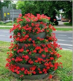 Пеларгонія плющелистная: сорти та особливості вирощування