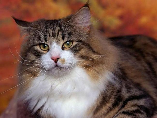 Чому не можна дивитися кішці в очі? Домисли і забобони?