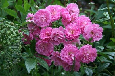 Поліантових троянди - цікава ідея для декорування ділянки