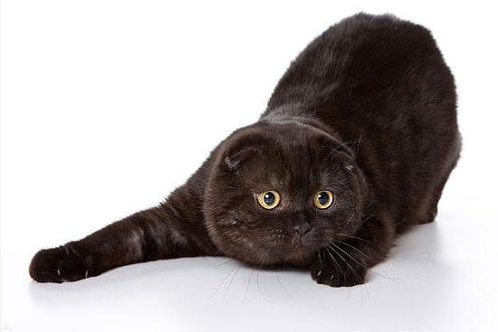 Популярна порода кішок: британець висловухий