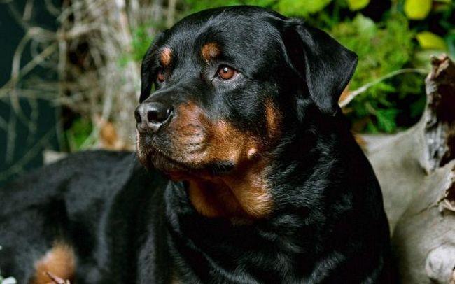 Популярні охоронні породи собак