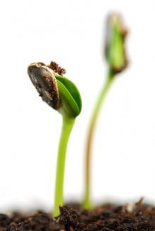 Пророщування насіння квасолі