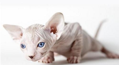 Розглянемо породи лисих котів