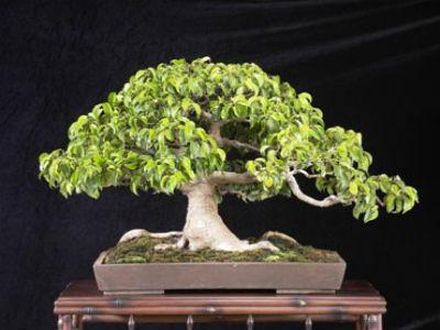 Розмноження фікуса бенджаміна і догляд за рослиною