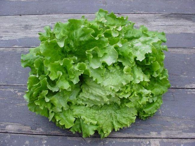Салат. Вирощування у відкритому грунті