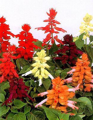 сальвія квіти