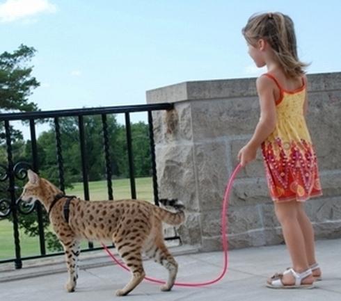 найбільша порода кішок