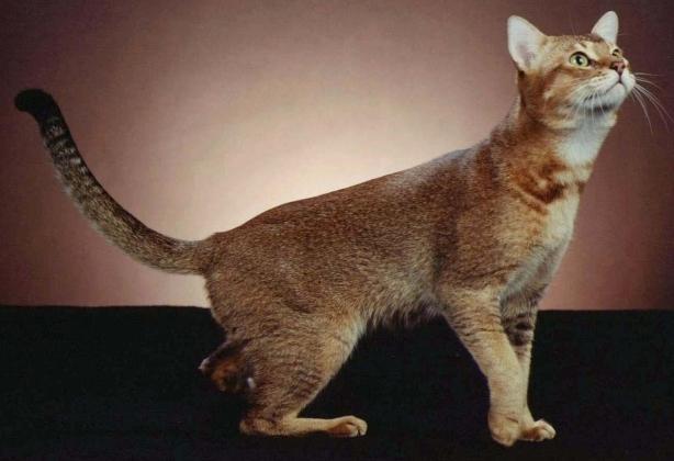 велика порода кішок