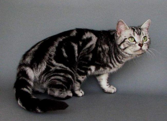 найдорожчі кішки породи