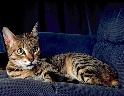 найдорожчі породи кішок фото