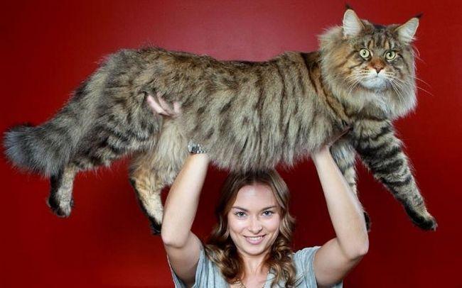 найбільша порода домашніх кішок