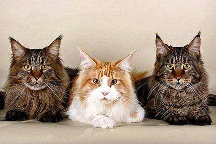 найбільший кіт - порода