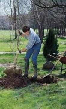 саджанець дерева