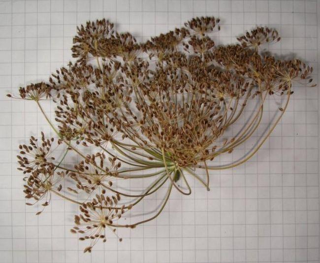насіння кропу лікувальні властивості