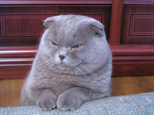 Шотландська кішка прямоухая: відмінні риси та характер
