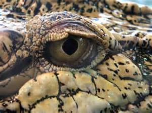 Сняться крокодили? Сонник дасть відповідь
