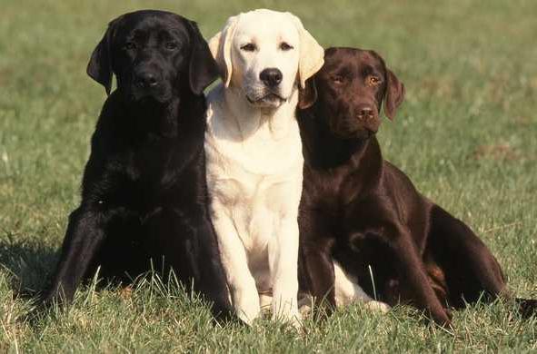 Собака-лабрадор: особливості породи і догляду за вихованцем