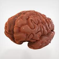 структура головного мозку людини