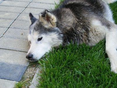 Судоми у собак - грізний симптом, що вимагає уваги