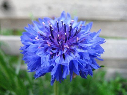 Васильки садові - красиве рослина