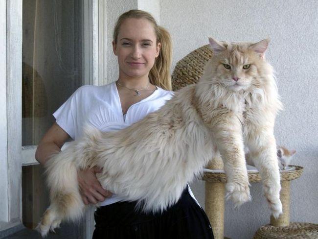 кішки порода мейн кун