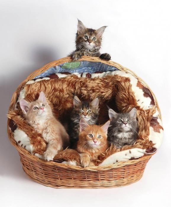розплідник кішок породи мейн кун