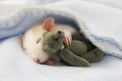 Бачити уві сні пацюка не так уже й погано!