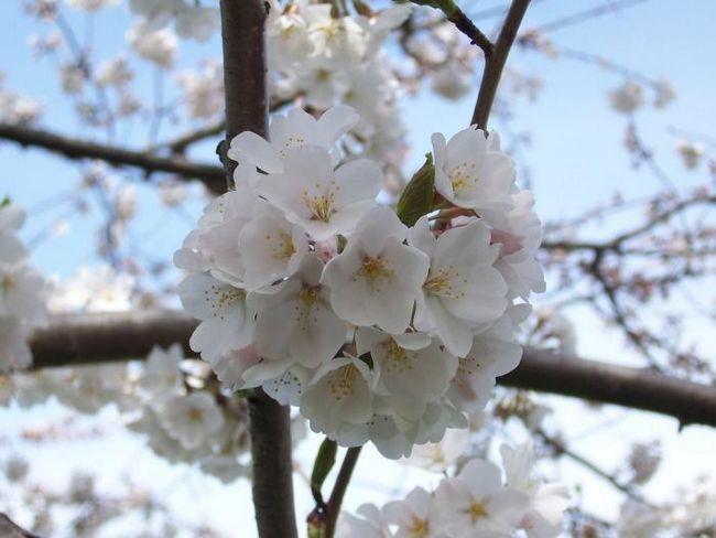 Вишня звичайна - королева весняного саду