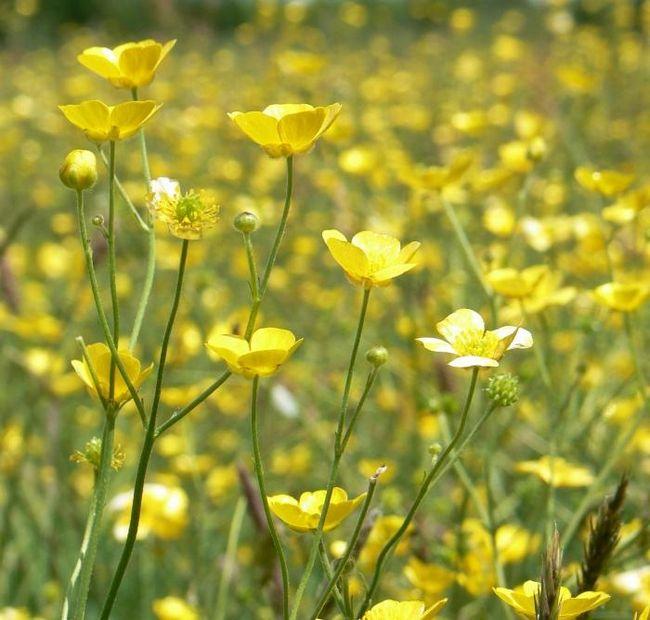 Ви знаєте, чому жовтий луговий квітка назвали жовтцем?