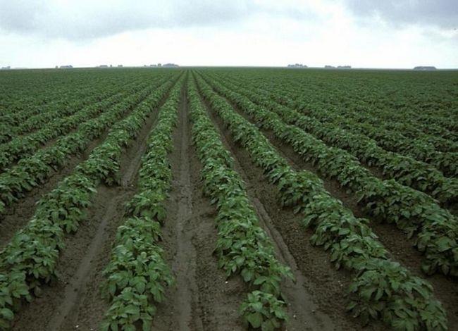 способи посадки картоплі